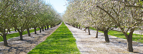 Tree-lined tree nut orchard row